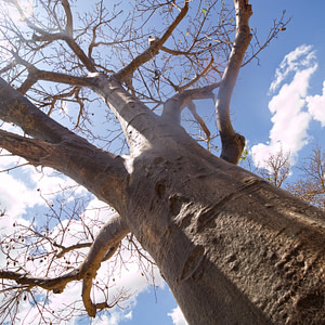 A Baobab tree outside Morogoro, Tanzania