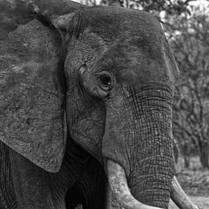 A weathered elephant up close at South Luangwa National Park