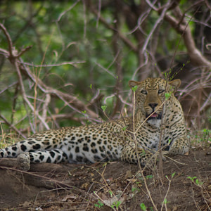 The elusive leopard finally caught