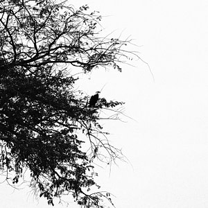 A perched eagle in South Luangwa National Park