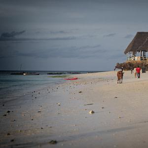 A cow walking the beach in Zanzibar
