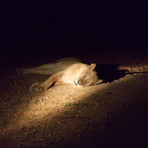 A sleeping lioness on a night safari